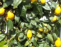 Zitronenöl -Italien-, ab 10 ml