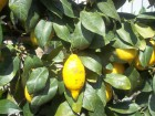 Zitronenöl -Italien-, 100 ml