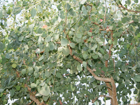 Eukalyptusöl 80/85%, China, ab 10 ml
