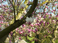 Magnolie -Absolue-, 1 ml