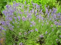 Lavendelöl, Bulgarien, ab 10 ml