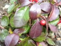 Wintergrünöl, ab 10 ml